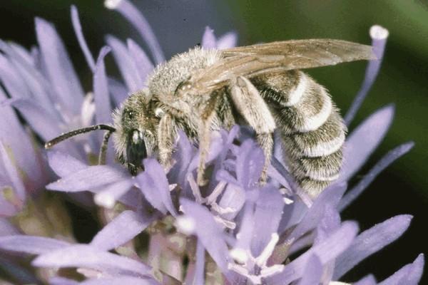 Самка Halictus leucaheneus. Entomologie/Botanik, ETH Zürich / Fotograf: Albert Krebs. CC BY-SA 4.0