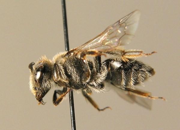Самка. E. Scheuchl. ZSM Entomology - Hymenoptera Image Archive