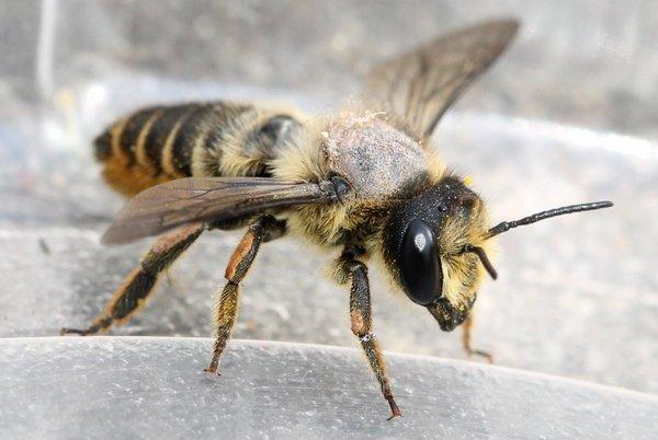 Photo © Thomas Legrand / Galerie du Monde des insectes / www.galerie-insecte.org. CC BY-NC (2019)