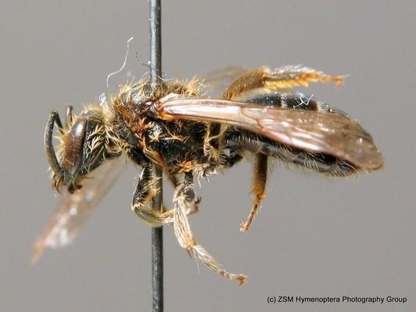 Самка. Stuke. ZSM Entomology - Hymenoptera Image Archive