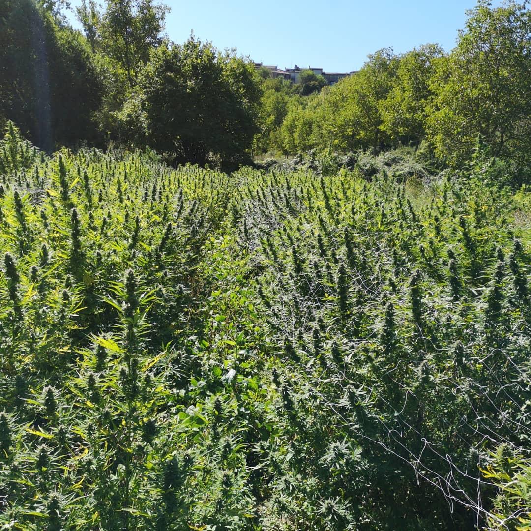 fioritura cannabis ara montis