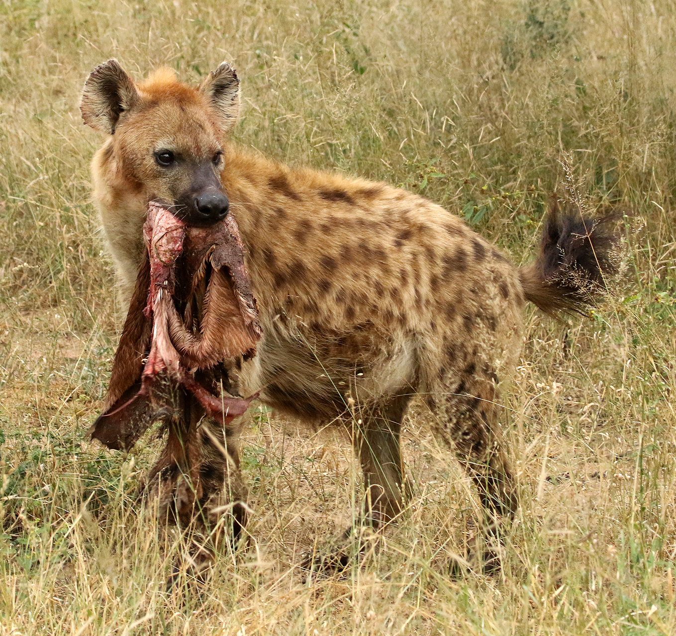 """Nature General: """"Hyena Carries Hide"""" by Charles Stricker"""