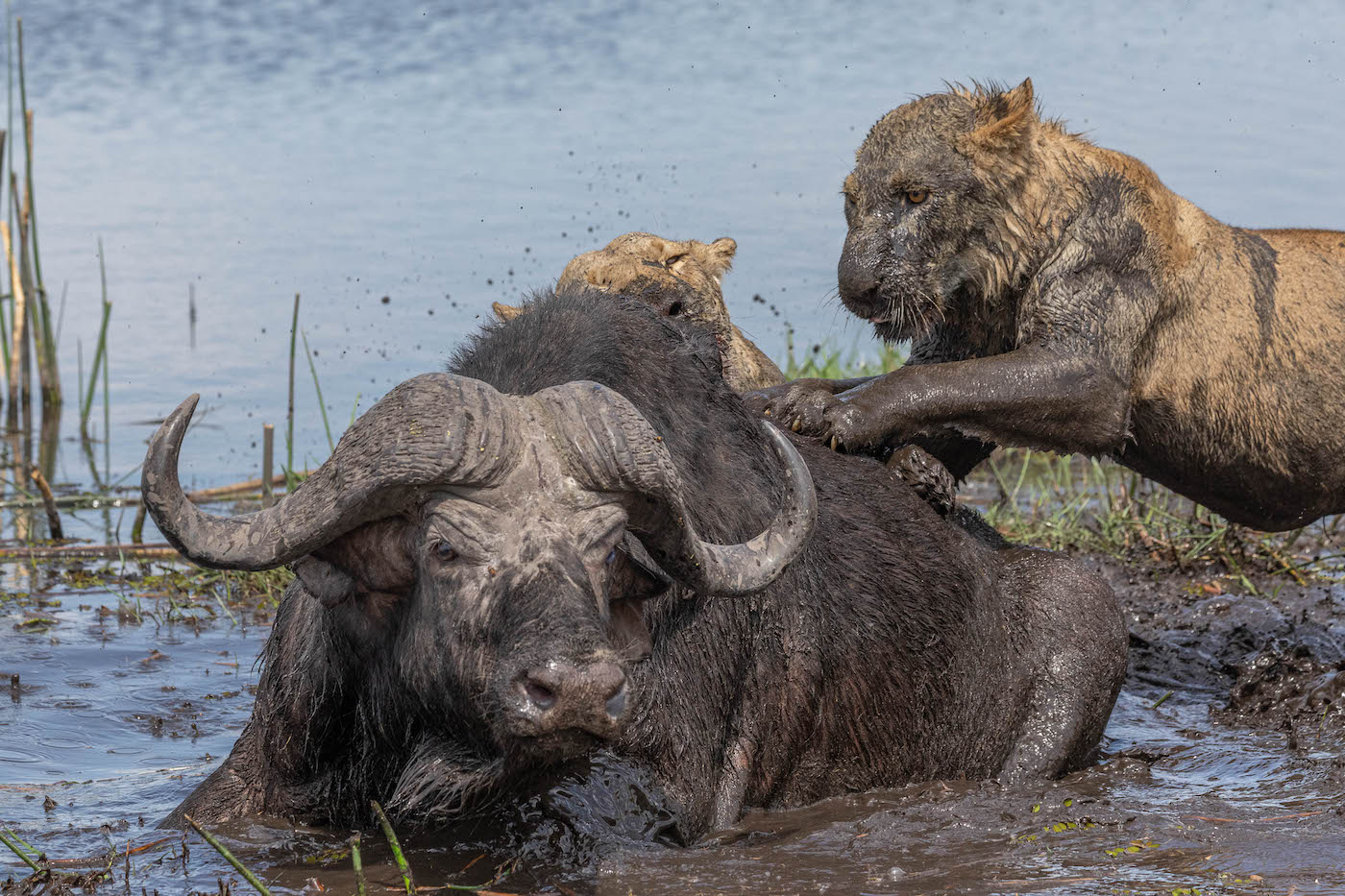 "Nature Wildlife: ""Buffalo vs Lions"" by Gail Stewart"