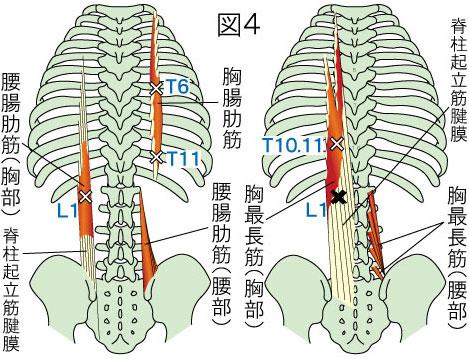 胸最長筋・胸腸肋筋・腰腸肋筋の走行図