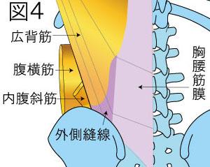 胸腰筋膜 腹横筋 内腹斜筋