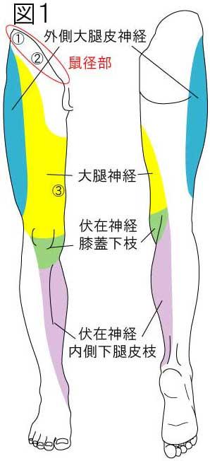 大腿神経(伏在神経)・外側大腿皮神経の痛み・シビレの範囲