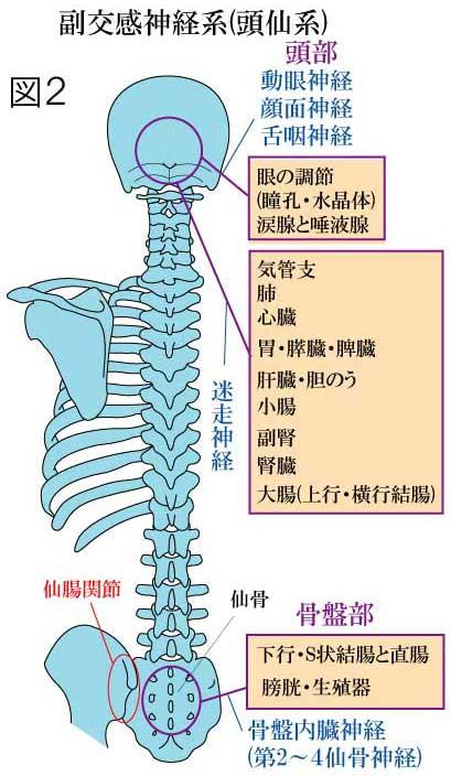 自律神経系 副交感神経