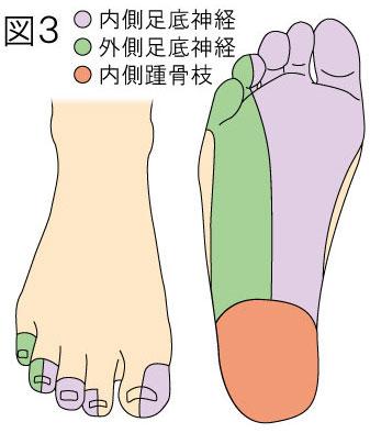 脛骨神経の足底知覚支配領域