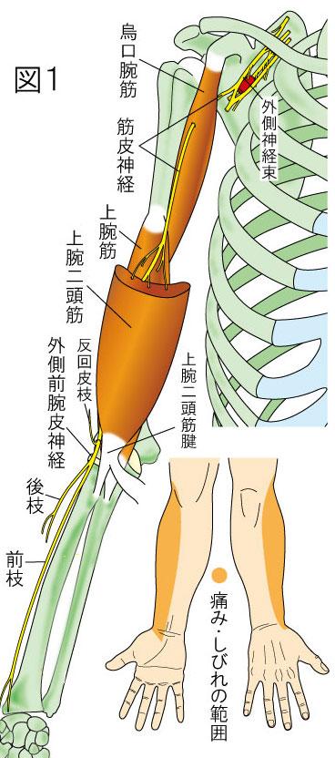 筋皮神経・外側上腕日神経・烏口腕筋