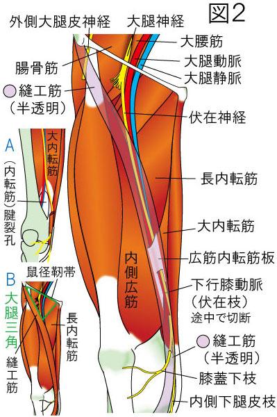 内転筋管(ハンター管)・大腿三角