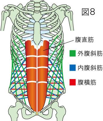 腹直筋・外腹斜筋・内腹斜筋・腹横筋の走行図