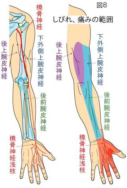 橈骨神経の知覚領域