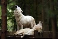 """Polarwölfe im Wildpark """"Alte Fasanerie"""" (Quelle Internet)"""