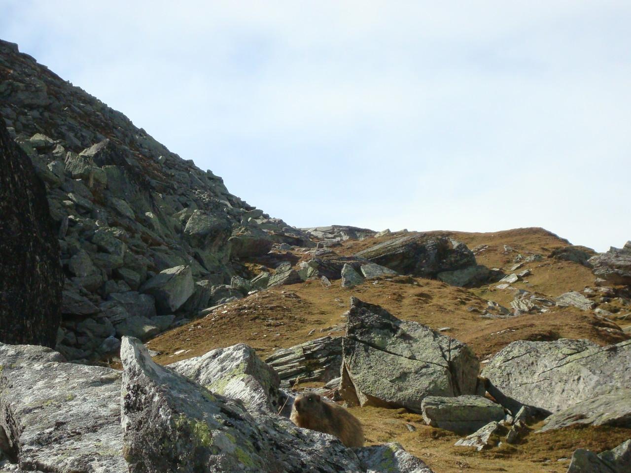 Murmeli unten auf dem Stein