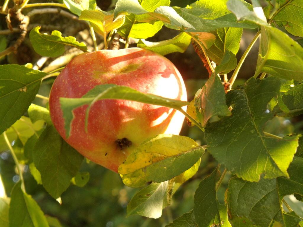 © Korfmacher Gärten Apfel