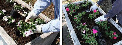 保谷庁舎前の花壇で、手際よく花を植え込み