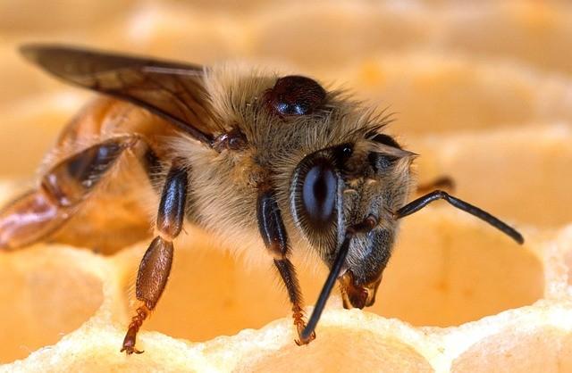 Biene auf der Wabe