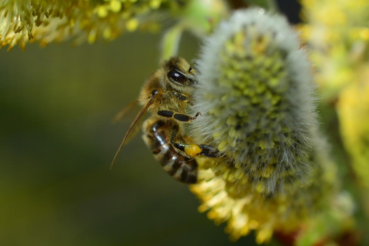 Biene an der Weide