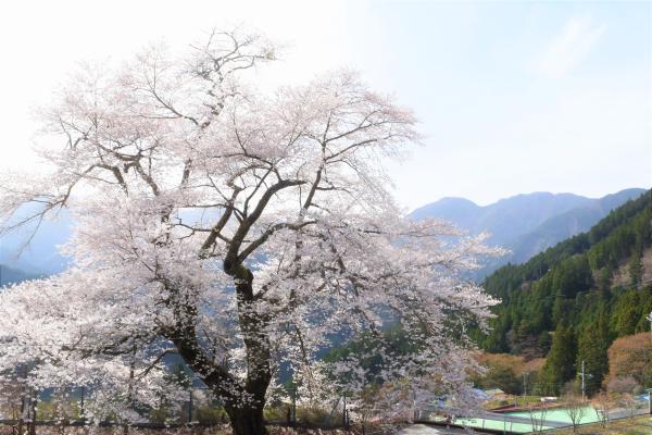 大野の桜と大沢地区