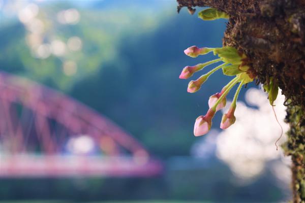 【龍山】桜