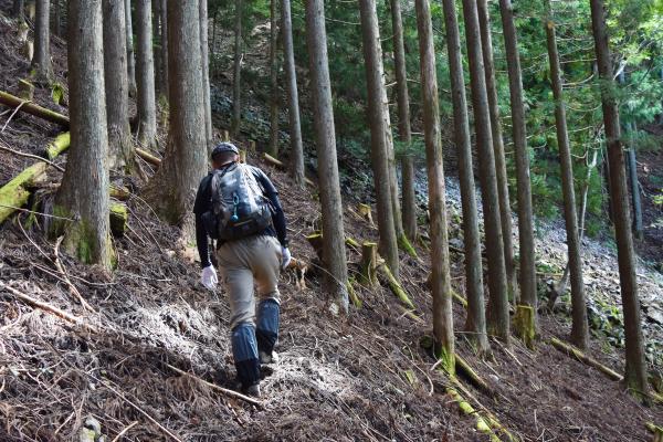 人工林の中を歩く。登山道ではなく「杣道」や「獣道」というのが正しい感じです。
