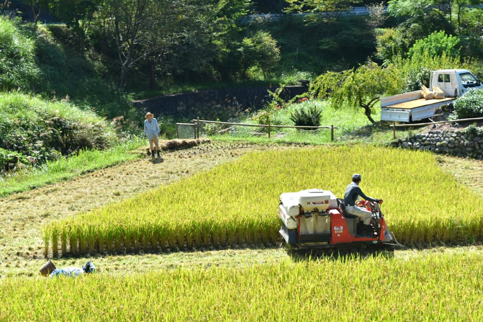 【春野町】稲刈り