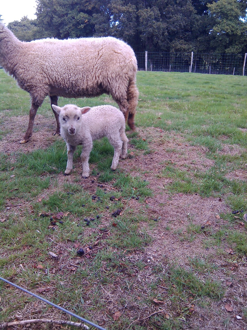 des moutons...