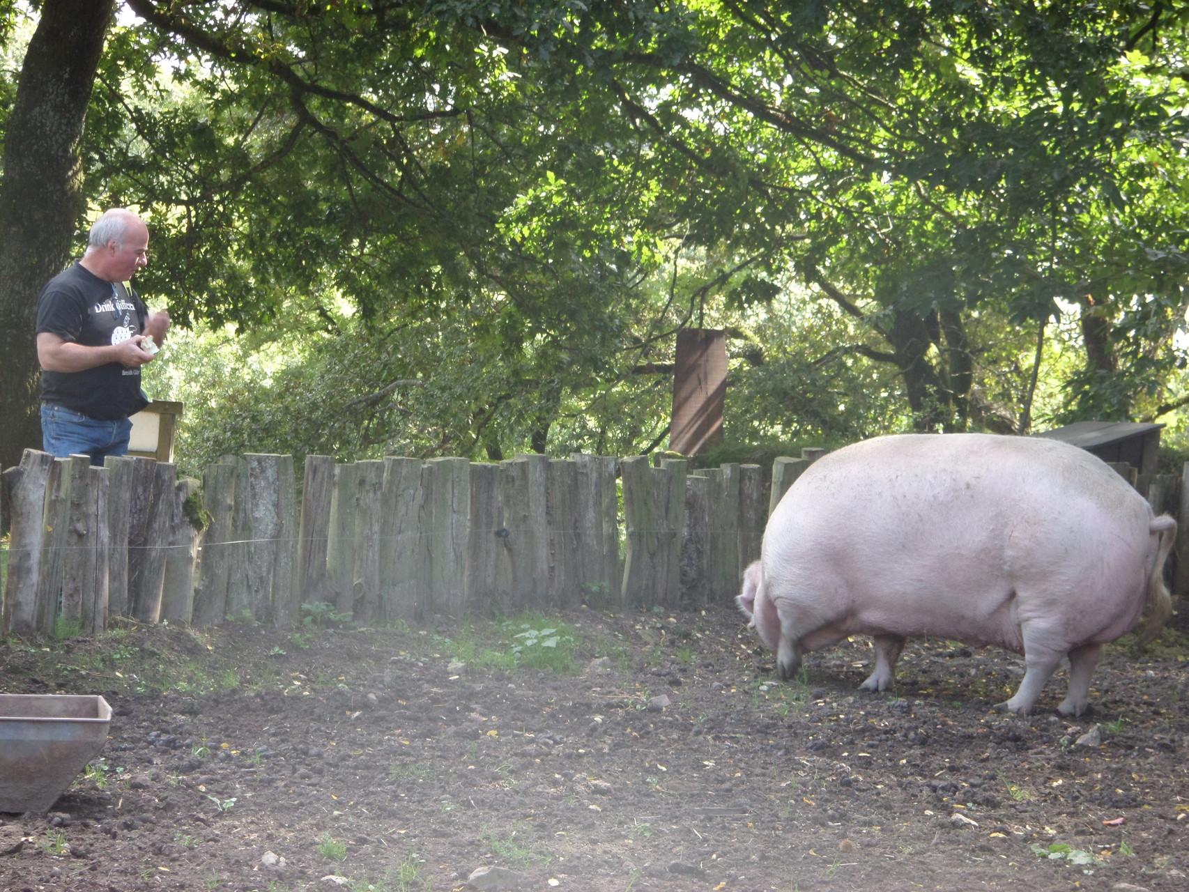 """Ils y a aussi à la ferme :  """"Groseille"""" la truie de race cochon blanc"""