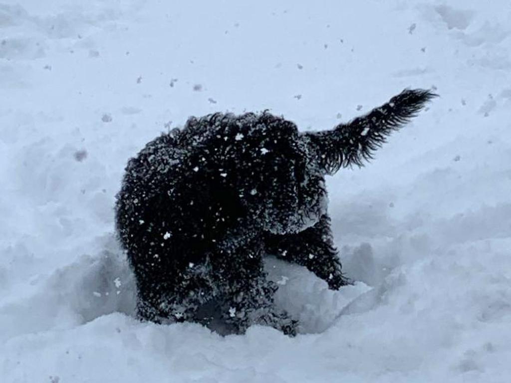 Crystal-Bonnie schaut Herrchen beim schneeräumen zu.......