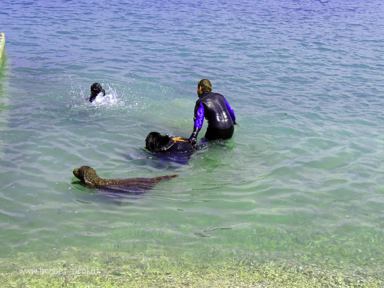 """Auch Hunde müssen schwimmen lernen. Der Neufundländer kann das schon super, er rettet bereits sein Herrchen.  Héloise """"paddelt"""" noch"""