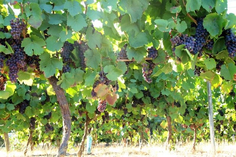 La vigne à proximité de la maison - AOC Gaillac
