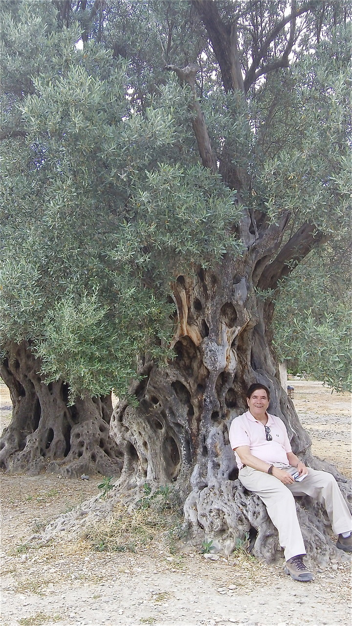 John with VERY OLD olive trees at Gortyna, Crete; tree is about 2000 yrs old