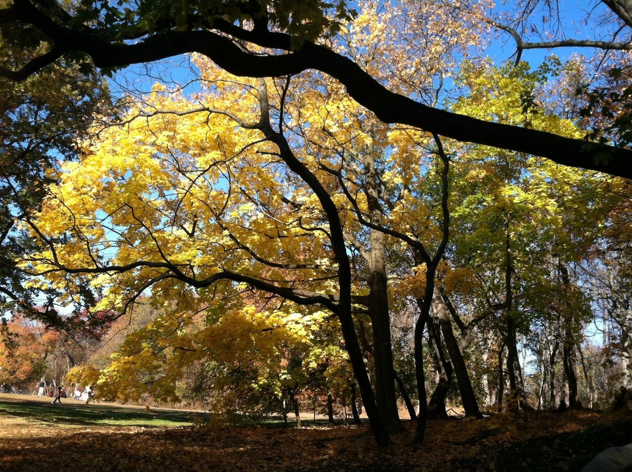 Autumn trees, Prospect Park, Brooklyn, NY