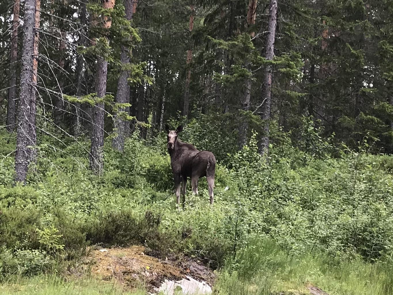 Ja, wir haben einen Elch gesehen