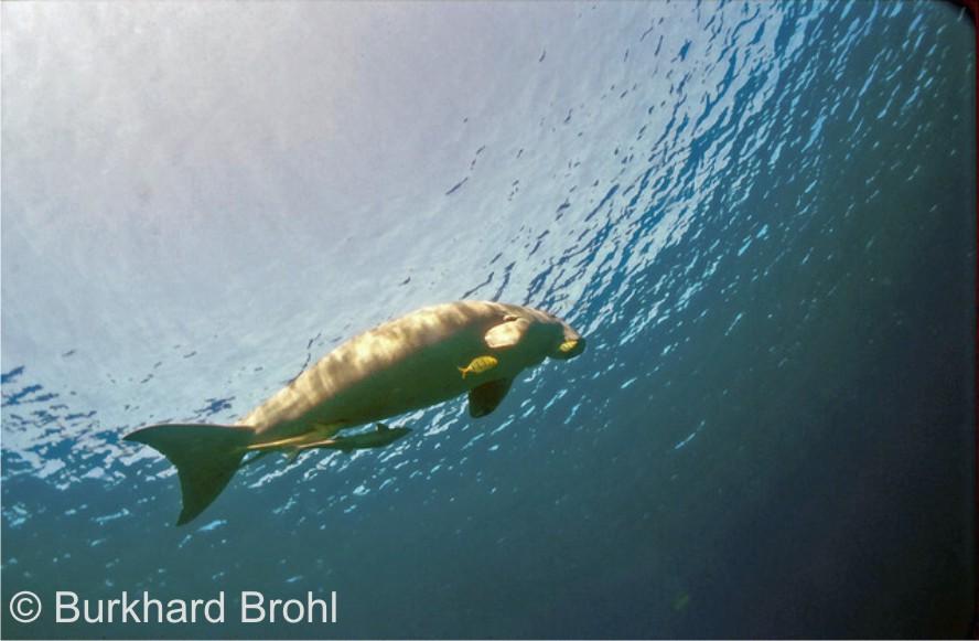 Dugong im Roten Meer....