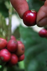 Kaffeebeere einzeln gepflückt