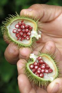 Achiote (Bisy orellana) geöffnete Frucht
