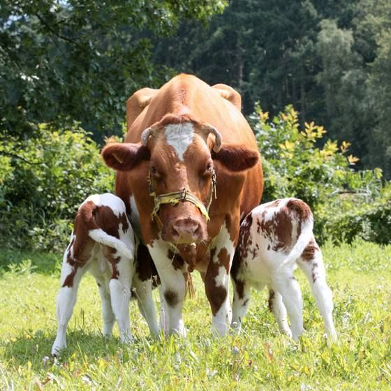 CAN TWIN PREGNANCY IN COWS BE AFFECTED?