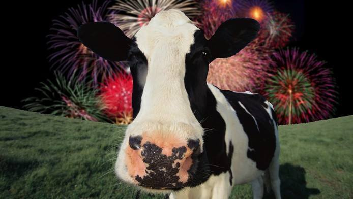 COWS AND FIREWORKS