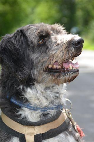 Bearded Collie-Mix Jockey sucht neues zu Hause!