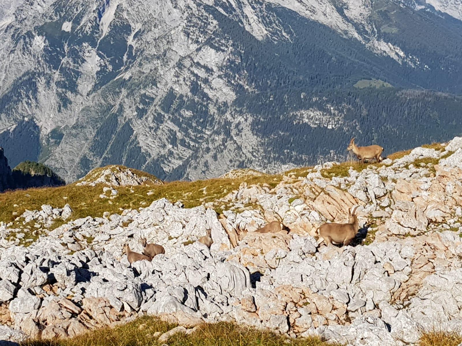 Steinböcke am Schneibstein