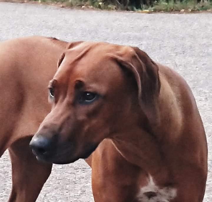 Dana lebt direkt im Nachtbarhaus und wir sehen sie regelmäßig, vor Freude wackelt dann der ganze Hund ❤️Dana fängt nun auch an Frauchen auf ihren Joggingrunden langsam zu begleiten