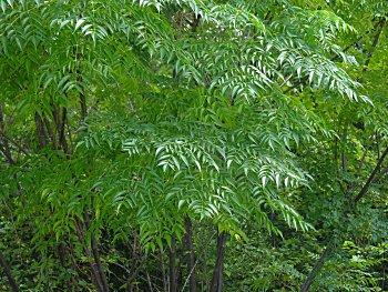 تحتوي شجرة الزنزلخت على الكثير من المواد الهامة والفعالة في معالجة الكثير من الأمراض ولها استخدامات طبية أخرى والتي من بينها إدرار البول