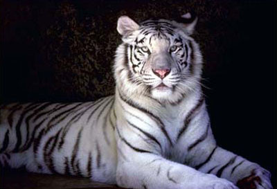"""2010 Sympatique """"Année du Tigre"""". Au fait, en liberté en Chine, pour la prochaine année  du Tigre, il en restera combien?"""