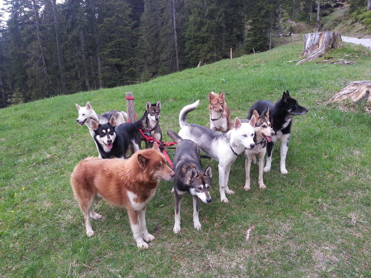 Wie entspannt es doch sein kann, mit neun Hunden an der Leine!