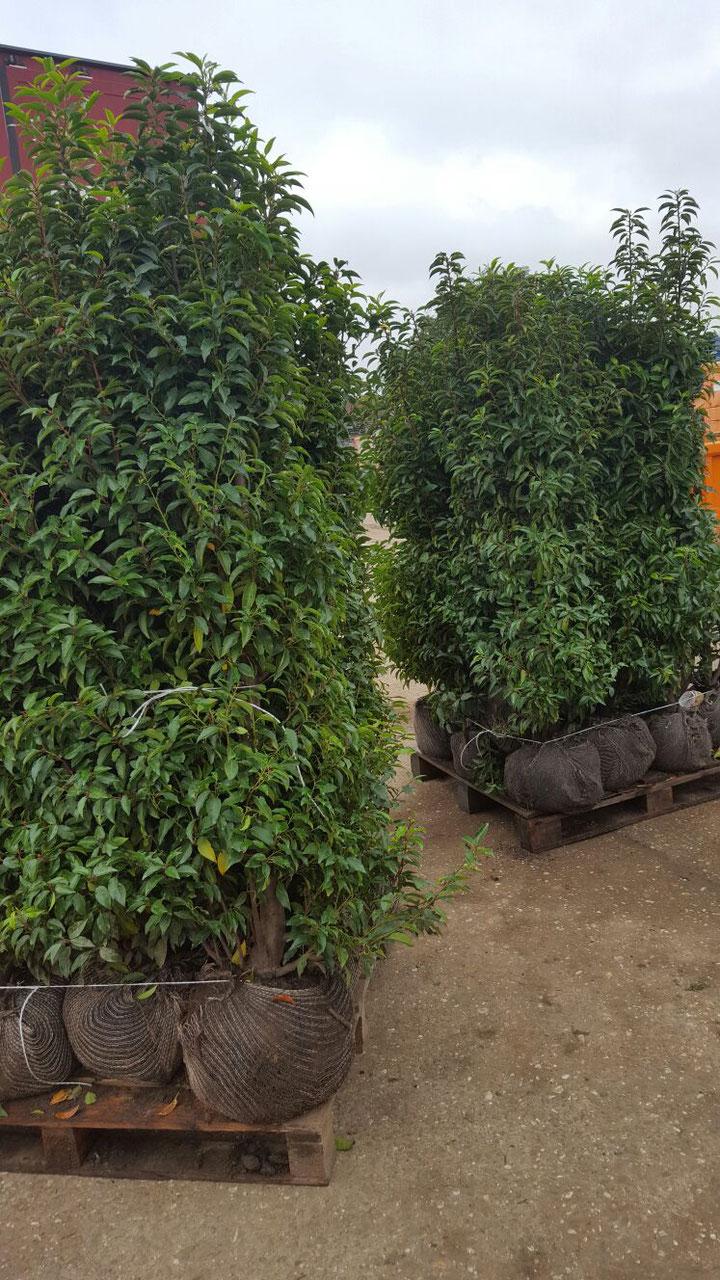 prunus lusitanica angustifolia online kaufen heckenpflanzen thelen. Black Bedroom Furniture Sets. Home Design Ideas