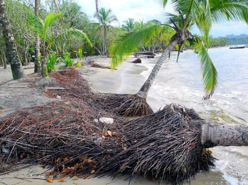 Palmen kämpfen gegen die karibischen Wellen