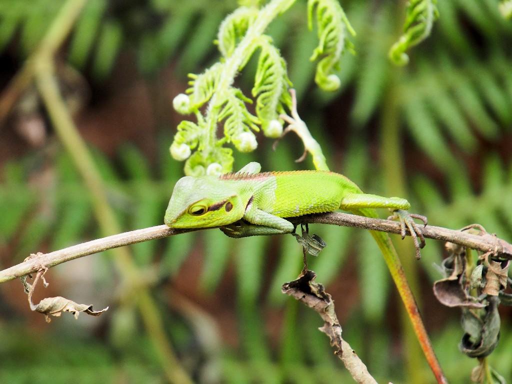 Hingeschaut - Sägerückenagame (Green Forest Lizard) hält sich geschickt auf einem dünnen Ast