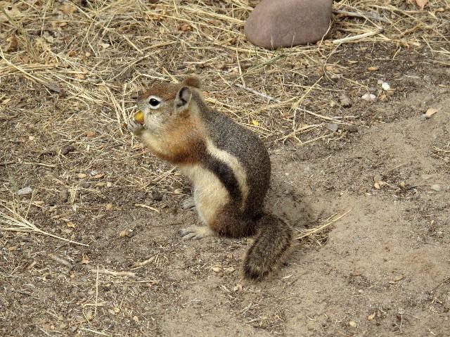 Dauergast - Backenhörnchen frühstückt mit uns
