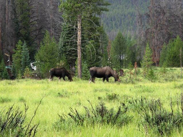 Nur mit Abstand zu genießen - Elche im Rocky Mountain National Park